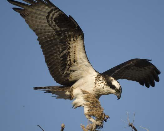 osprey-3-13-2008_0144copy.jpg