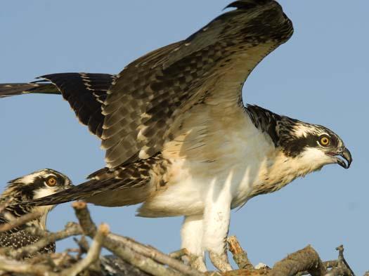 osprey-nest-7-13-2008_071308_6139.jpg