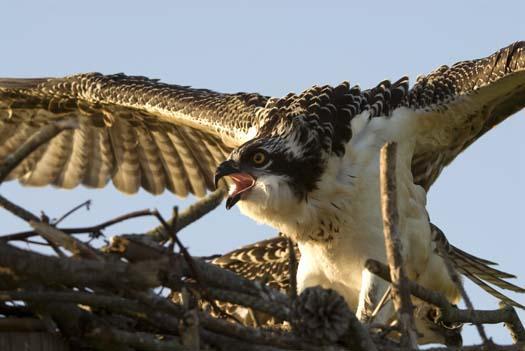 osprey-nest-7-13-2008_071308_6320.jpg