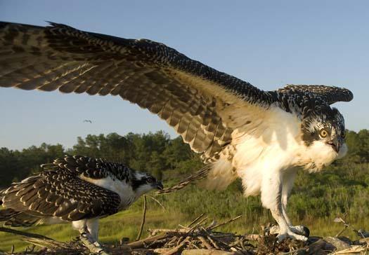 osprey-nest-7-13-2008_071308_6412.jpg