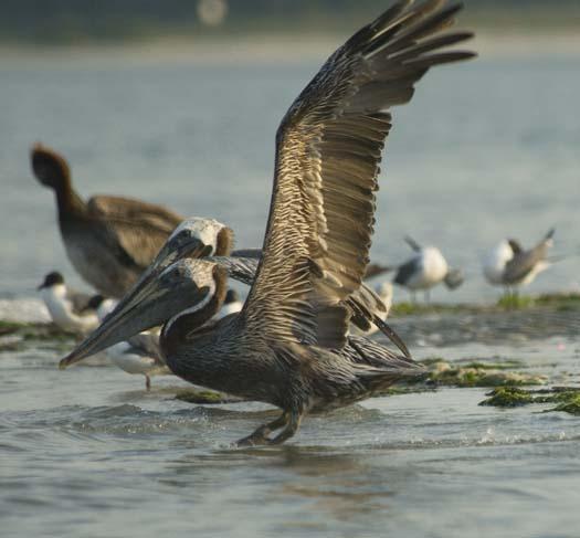 pelicans-egrets-7-18-2008_071808_7401.jpg