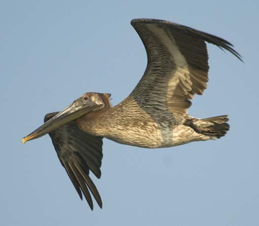 pelicans-egrets-7-18-2008_071808_7431.jpg