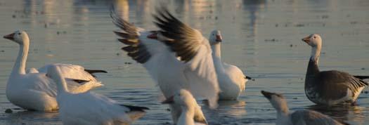 primehook-snow-geese-sunrise-10-30-2007_0650copy1.jpg