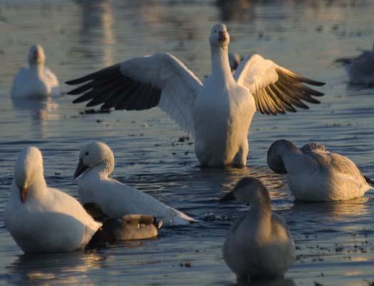 primehook-snow-geese-sunrise-10-30-2007_0688copy1.jpg