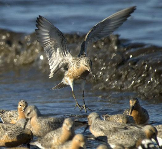 red-knots-etc-5-21-2009_052109_9733