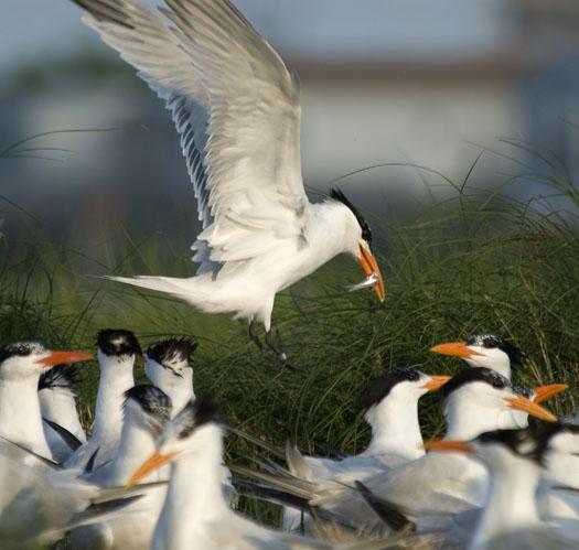 royal-tern-colony-6-12-09_061209_1009