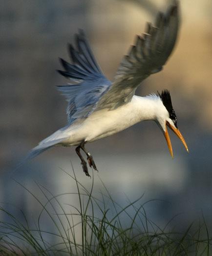 royal-tern-colony-6-12-09_061209_1050