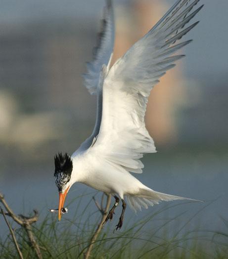 royal-terns-6-14-2009_061409_1634