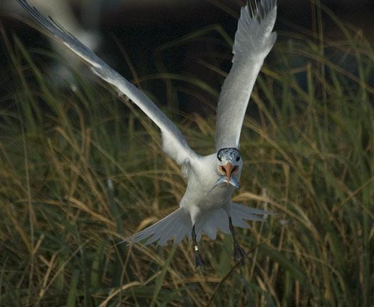royal-terns-7-12-2009_071209_4867