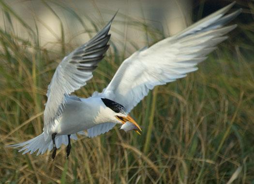 royal-terns-7-12-2009_071209_4959