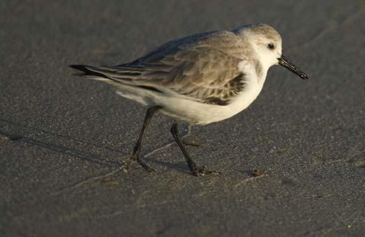 sanderling-3-2-2008_9261.jpg