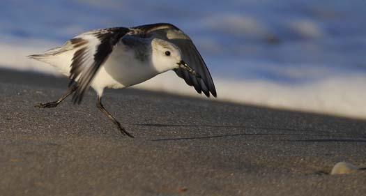 sanderlings-3-3-2008_9543copy1.jpg