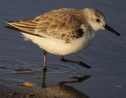 sanderlings-3-3-2008_9563copy2.jpg