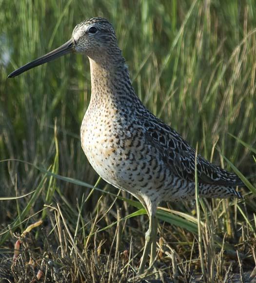 shorebirds-5-21-2008_052108_6876.jpg