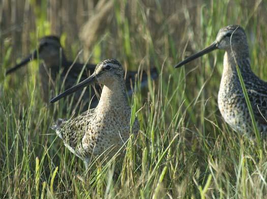 shorebirds-5-21-2008_052108_6916.jpg