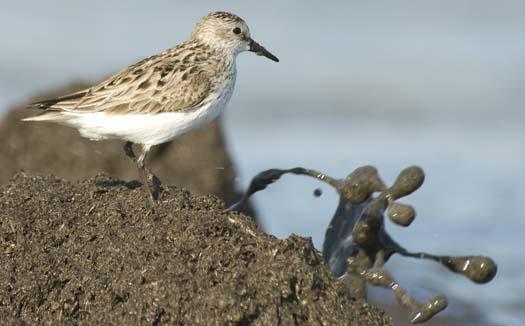 shorebirds-5-30-2008_053008_0815.jpg