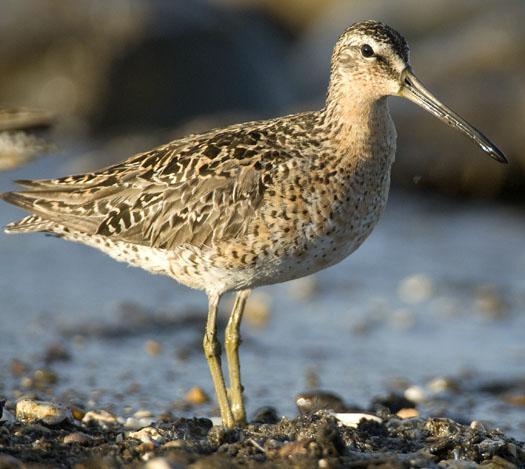 shorebirds-bch-heather-sunset-5-22-2009_052209_0473