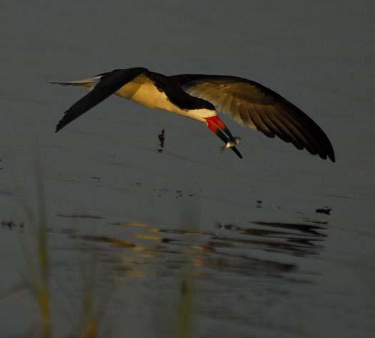 skimmers-egrets-6-29-2008_062908_45581.jpg