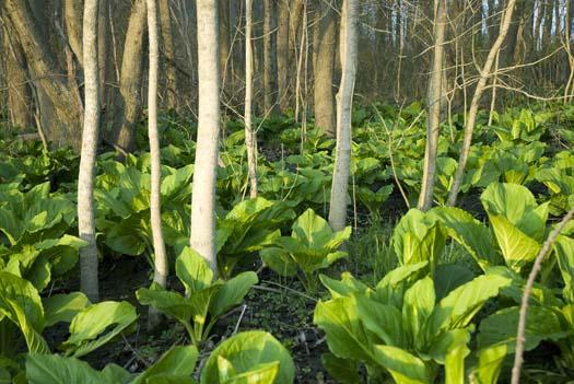 skunk-cabbage-4-11-2008_041108_2654.jpg