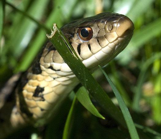 snake-5-30-2009_053009_0756