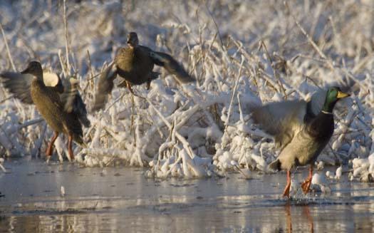 snow-ducks-eagle-heron-12-6-2007_3091copy1.jpg