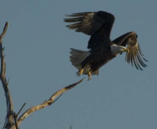 snow-ducks-eagle-heron-12-6-2007_3130copy1.jpg