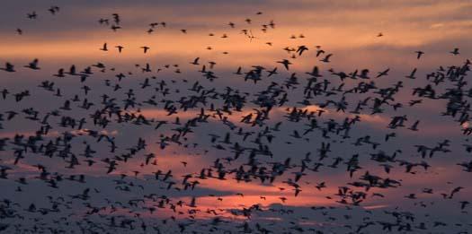 snow-geese-against-sunset-11-13-2007_1708copy2.jpg