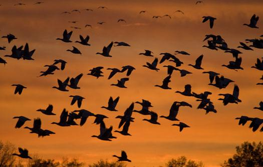 snowgeese-at-sunset-11-19-2008_111908_0915.jpg