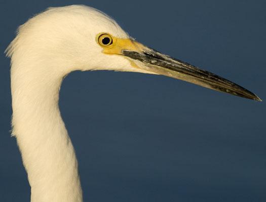 snowy-egret-salicornia-10-12-2008_101208_0409.jpg
