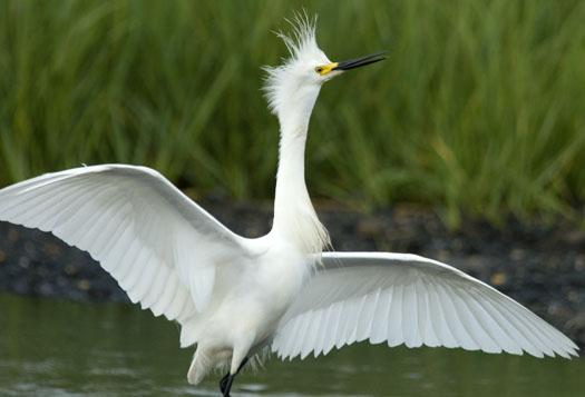 snowy-egrets-6-20-2009_062009_2136