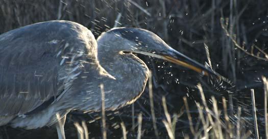 sunrise-1-13-2008-heron-fishing-fowler_5377copy3.jpg