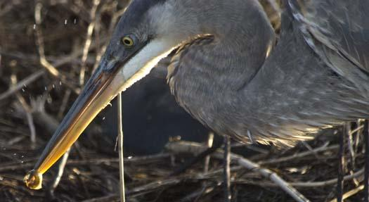 sunrise-1-13-2008-heron-fishing-fowler_5612copy1.jpg