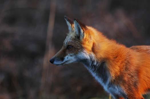 sunrise-fox-primehook-11-17-2007-027copy1.jpg