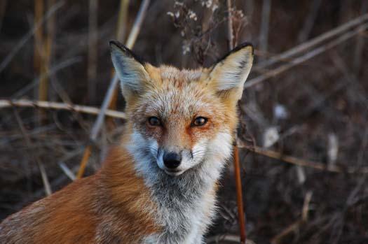 sunrise-fox-primehook-11-17-2007-048copy1.jpg