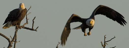 sunset-12-27-2007-2-eagles-heron-primehook_4157copy1.jpg