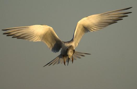 terns-egrets-10-2-2008_100208_0011.jpg