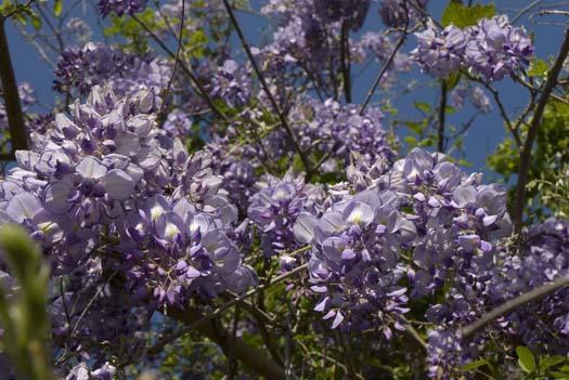 wisteria-4-24-2008_042408_4427.jpg