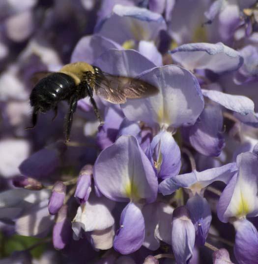 wisteria-4-24-2008_042408_4475.jpg