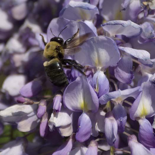 wisteria-4-24-2008_042408_4477.jpg